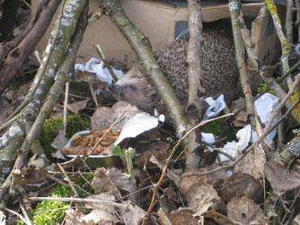 ausgesetzter Igel unter einem Reisighaufen  Foto: NABU Römerstein