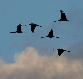 Fliegende Kraniche. Foto: K.Karkow/NABU-Archiv