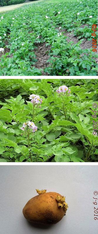 Karoffelfeld - Kartoffelblüte - Kartoffelknolle (Keime entfernen!)