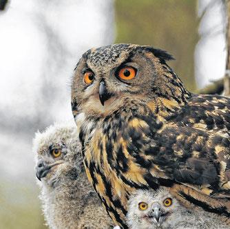 Uhu mit Jungvögeln - Foto: Dr. Andreas Schüring