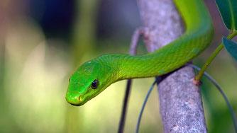 Il Green Mamba