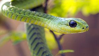 Boomslang (dispholidus typus) o serpente degli alberi
