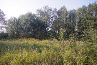 überwucherte Waldlichtung mit kanadischer Goldrute und Landreitgras
