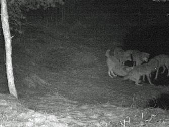 Diese Wölfe tappten im November 2016 in eine Fotofalle.
