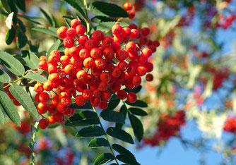 Von den Früchten der Eberesche ernähren sich über 60 Vogelarten. Foto: NABU / Hubertus Schwarztraub