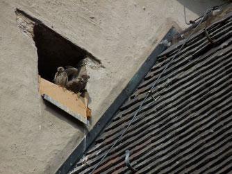 Drei junge Turmfalken flogen 2017 aus dem Kirchturm in Messelhausen aus.