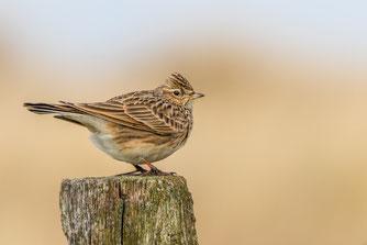 Die Vogelschutzrichtlinie hat Schwächen. So ist der Bestand der Feldvögel seit Inkrafttreten um 56 Prozent zurückgegangen. Foto: Thomas Schwarzbach/naturgucker.de