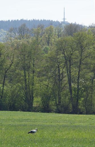 Futtersuchender Weißstorch in der Aitzenbach-Aue