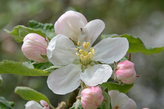 Apfelblüte, NABU Olpe