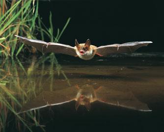 Bechsteinfledermaus Flug, NABUDietmar Nill