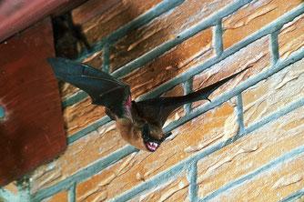 Breitflügelfledermaus - ein typischer Hausbewohner (Foto: E. Menz)