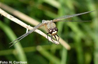 Ansitzwarten sind für Libellen wichtig - Wasserpflanzen zur Eiablage unverzichtbar