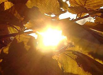 Wer genießt sie nicht, die optischen Reize von leuchtendem Herbstlaub ...