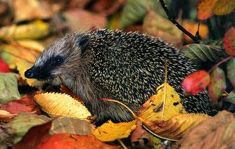 Igel im Herbstlaub (Foto: Kunz)