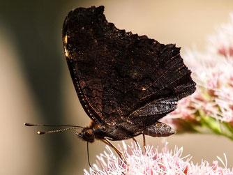 Feldspering mit Insektenfang (Foto: K.-D. Haak)
