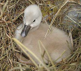 Dieser verwaist aufgefundene Jungschwan wurde dem NABU übergeben und an die zuständige Wildvogelstation weiterlgeleitet.