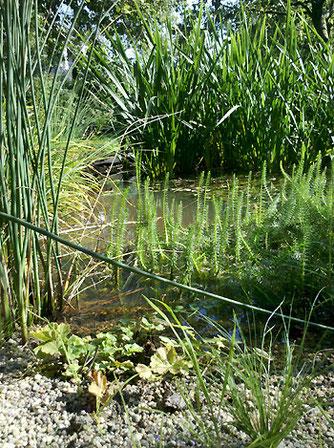 Kleines, flaches Projektgewässer, wenige Monate nach der Erstbepflanzung