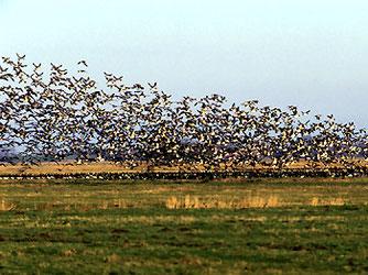 Auffliegende Wildgänse im ostfriesischen Rheiderland