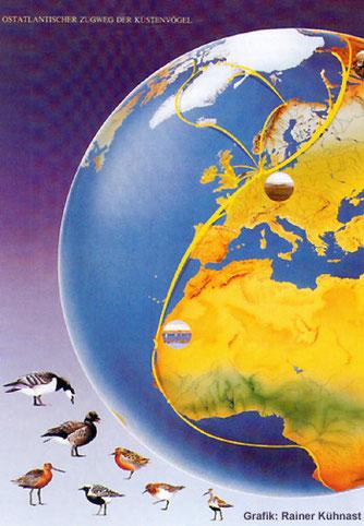 Der Ostatlantische Zugweg Pfuhlschnepfe, Kiebitzregenpfeifer, Knutt, Sanderling und Alpenstrandläufer ziehen bis Afrika Nonnengans und Ringelgans ziehen von Sibirien ins Wattenmeer der Nordsee