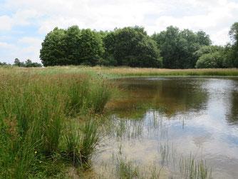 Neu angelegtes Libellengewässer bei Dinklage - im 2. Jahr hat sich schon eine prima Ufervegetation von allein eingestellt