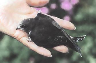 Ein junger Mauersegler, aus dem Nest gestürzt und von seinen 'Pflegeeltern' bis zum Abflug in den Süden versorgt...
