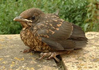 Nicht jeder Jungvogel, der allein im Gartenbereich aufgefunden wird, ist als verlassen anzusehen.