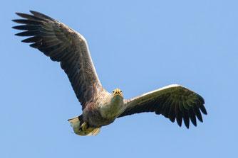 Seeadler (Foto: Klaus Meyer)