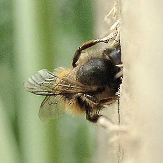 Mauerbiene beim Verschließen eines Geleges.