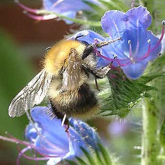 Wesentliche Grundlage für die Ansiedlung von Insekten ist das Vorhandensein möglichst vieler heimischer Wildpflanzen - hier eine Hummel am Gemeinen Natternkopf...