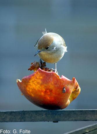Mönchsgrasmücke an einem Apfel (Foto: G. Folte)