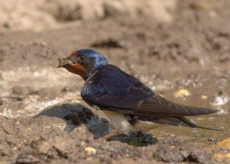 Rauchschwalbe sammelt Nestmaterial (Foto: J. Hicke)