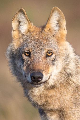 Portraitfoto eines Wolfs