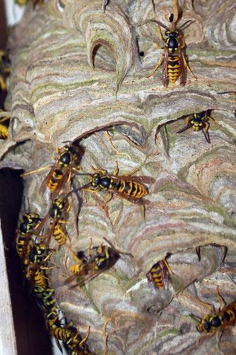 Bis in den September wachsen Wespenstaaten. Kurze Zeit später sterben sie ab