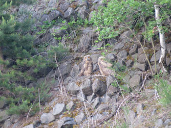 Jung-Uhus in der Felswand am Steinbruch Eulenberg. Foto: Johannes van de Braak