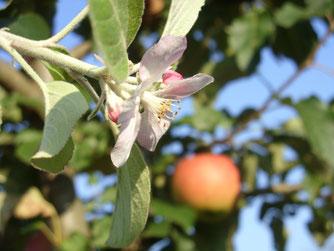 Ein merkwürdiger Anblick: Reifer Apfel und Blüte zur gleichen Zeit.