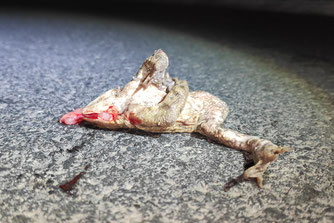 So traurig endet die Wanderung vieler Kröten. Foto: Roland Steinwarz