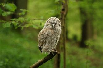 Junger Waldkauz (Ästling). Foto: Roland Steinwarz