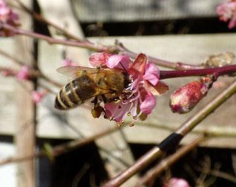 Kärntner Biene (Foto: naturgucker.de [M. Meffert])