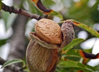 Süßmandel (Foto: pixbay)