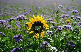 Phacelia & Sonnenblume (Foto: pixabay)
