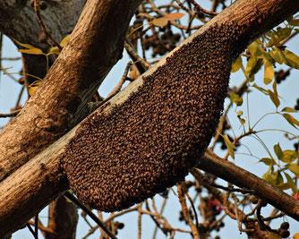 Schwärmende Bienen (Foto: pixabay)