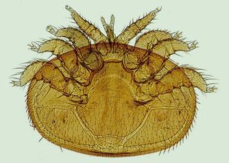 Varroa Milbe (Foto: pixabay)