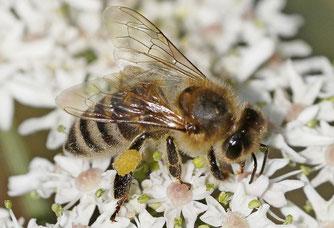Westliche Honigbiene [Foto: naturgucker.de [A. Teichmannn])