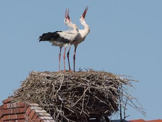 Im Süden unseres Verbandsgebiets ein vertrauter Anblick - Weißstörche klappern auf ihrem Nest, Foto: Rita Priemer