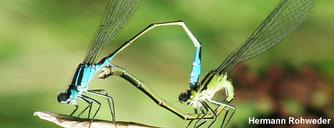 Große Pechlibelle bei der Paarung (© Hermann Rohweder, NABU)