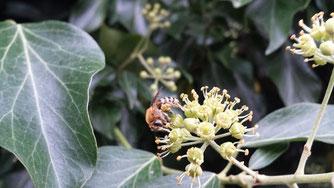 Efeu-Seidenbiene auf der Hambacher Höhe
