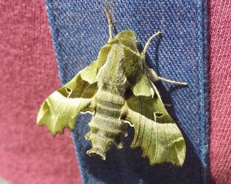 Traumschöne Olivgrün-Farbtöne: der Nachtkerzenschwärmer