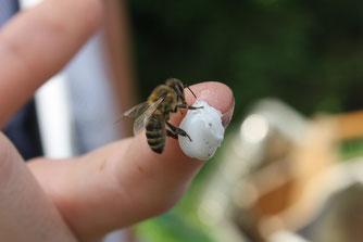 Biene bedient sich an Wachs