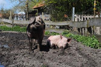 Artgerechte Tierhaltung bei Schweinen. Foto: Laura Holzenkämpfer