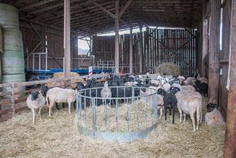 60 Mutterschafe mit Lämmern im Stall (Foto: B. Budig)